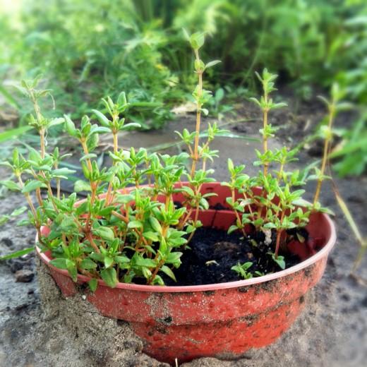 Чабер гном выращивание из семян 11