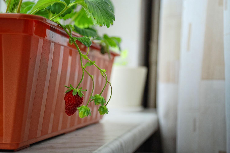 Выращивание клубники на балконе круглый год: как посадить и .