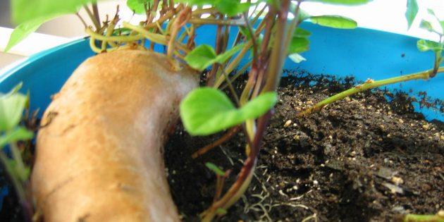 Как вырастить дома батат