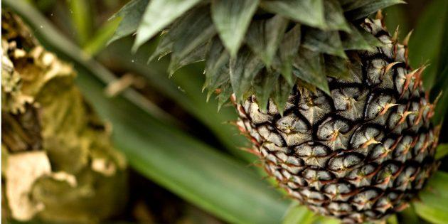 Как вырастить дома ананас