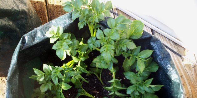 Как вырастить дома картофель