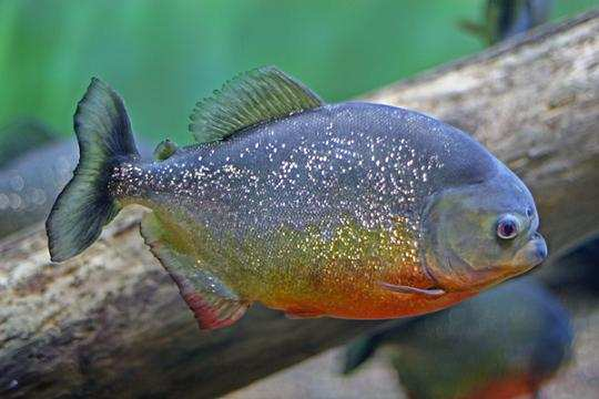 Fish Fury: истребление пернатых