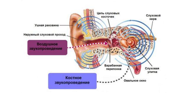 звон в ушах: строение уха