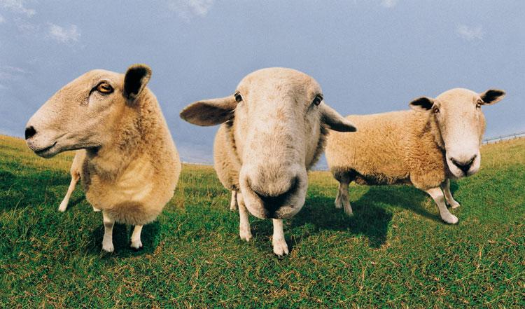 Шевели копытами: 5 iOS-игр аккурат к году овцы