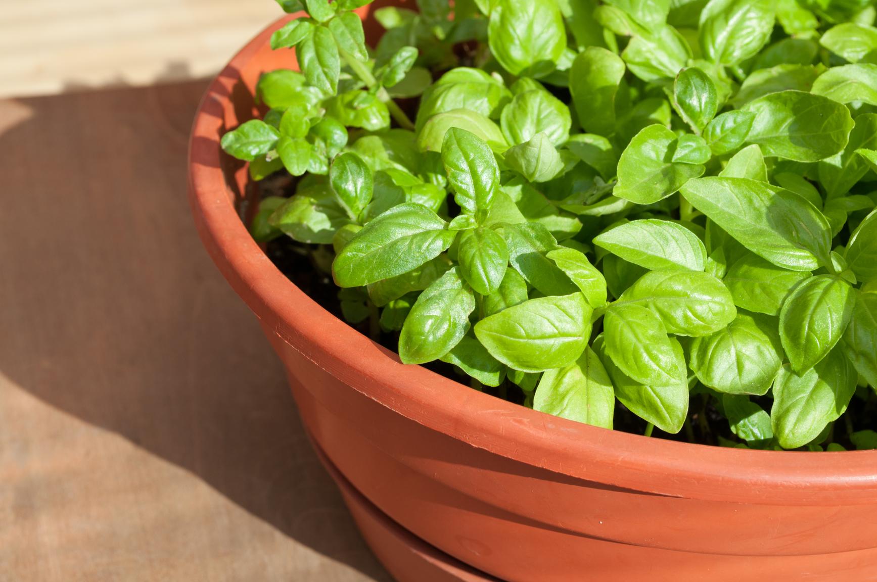 Базилик — выращивание из семян на подоконнике, когда сажать