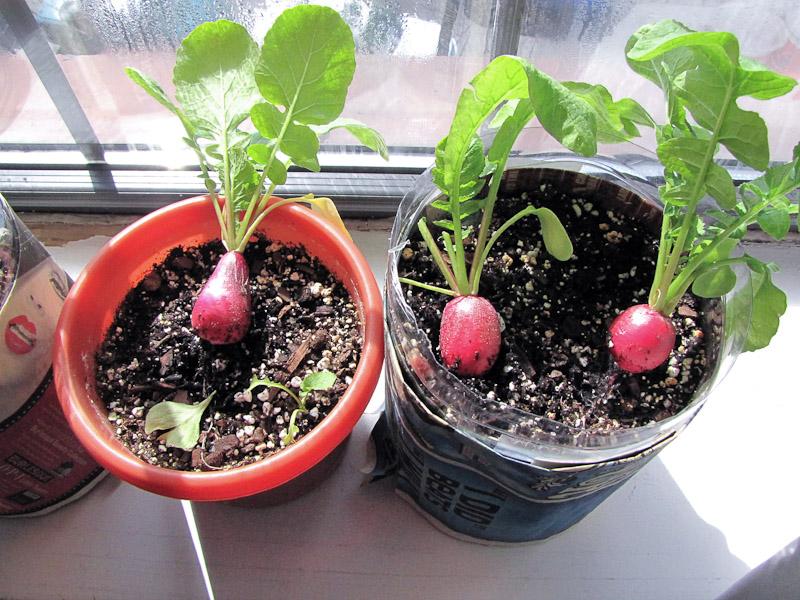 Мини-огород в квартире: как вырастить овощи, зелень и даже к.