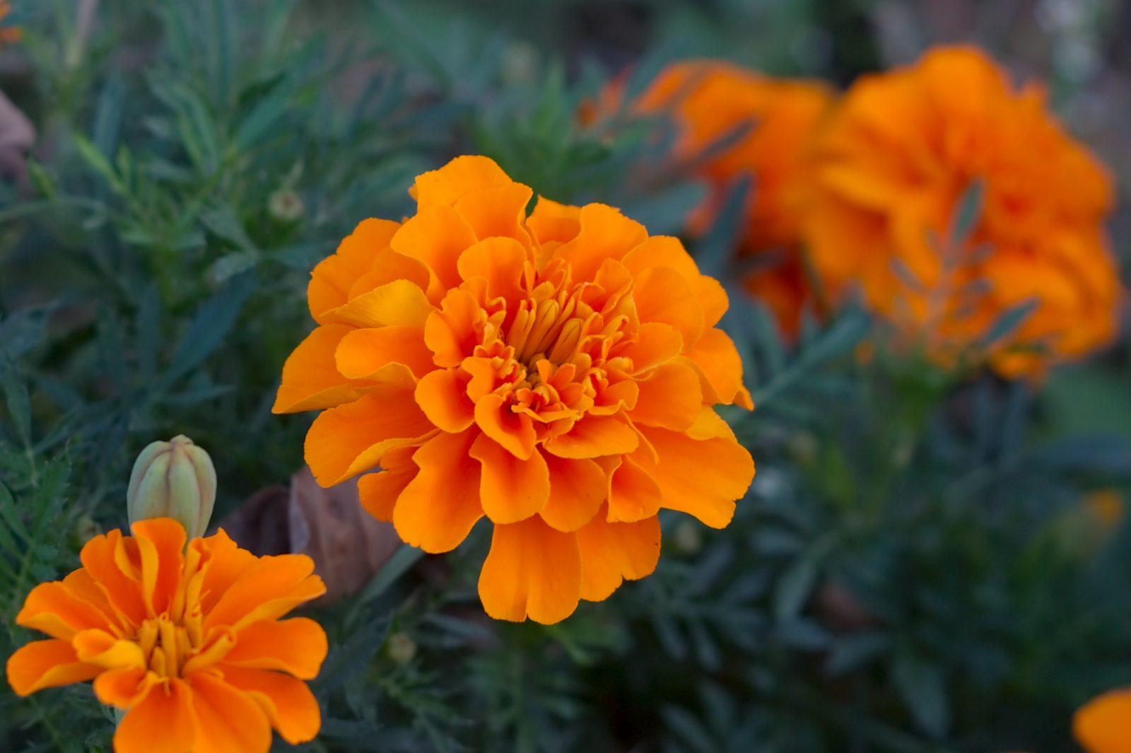 природа оранжевые цветы Бархатцы без смс