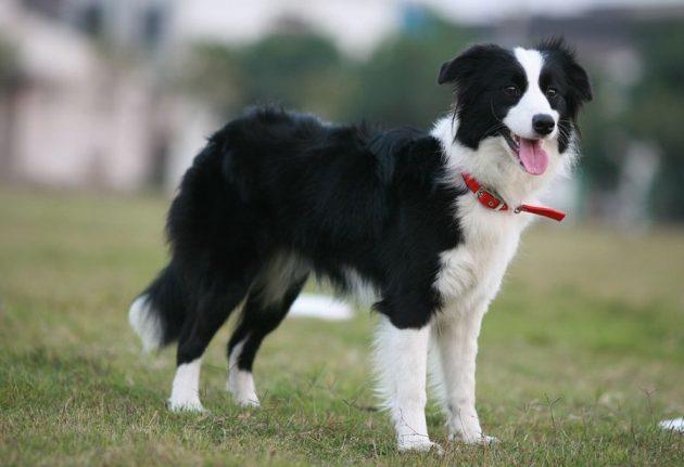 Топ-10 самых умных пород собак: бордер-колли