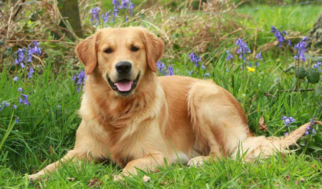 Топ-10 самых умных пород собак: золотистый ретривер