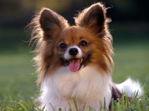 Топ-10 самых умных пород собак: папильон