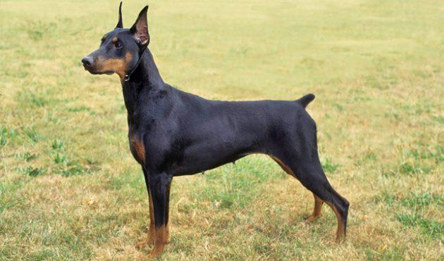 Топ-10 самых умных пород собак: доберман