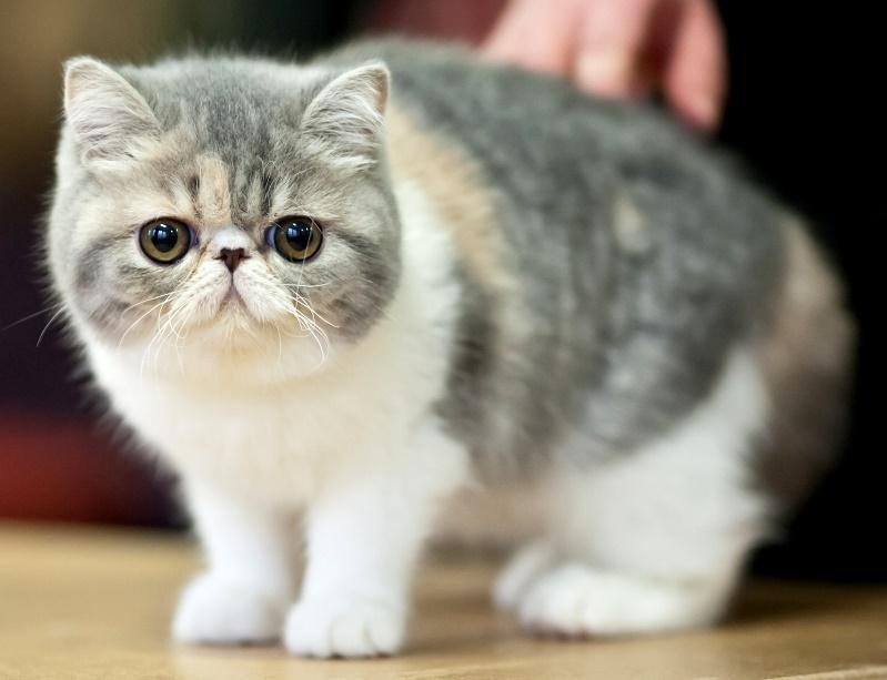 Котята экзоты фото цена