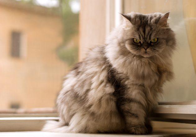Рождённые для ласки: ТОП-3 самые дружелюбные породы кошек