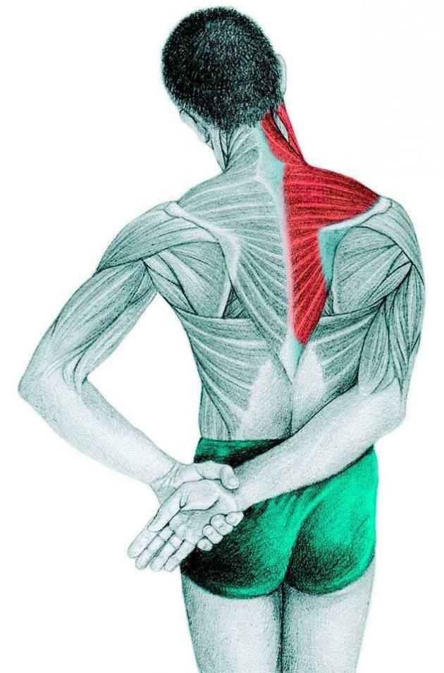 Анатомия стретчинга: трапециевидной, надостной, дельтовидной мышц