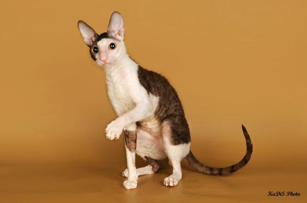 умные породы кошек: корниш-рекс