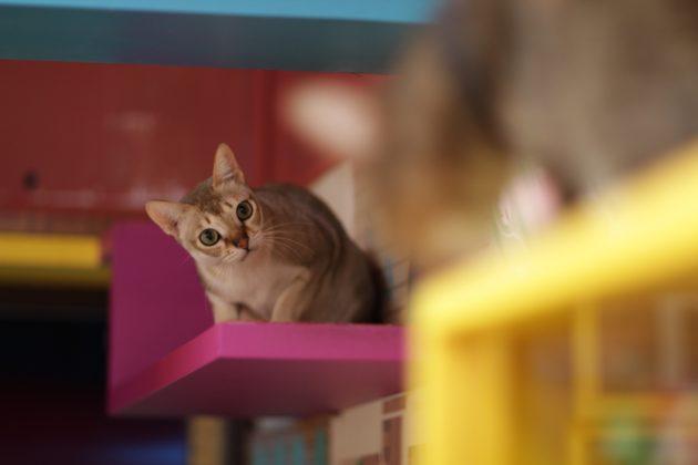 умные породы кошек: сингапурская