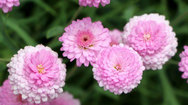 Красивые цветы: хризантемы