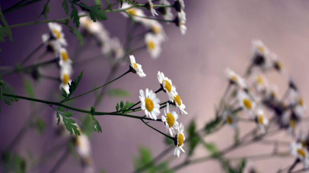Красивые цветы: ромашки