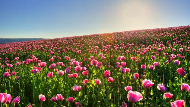 Красивые цветы: тюльпаны