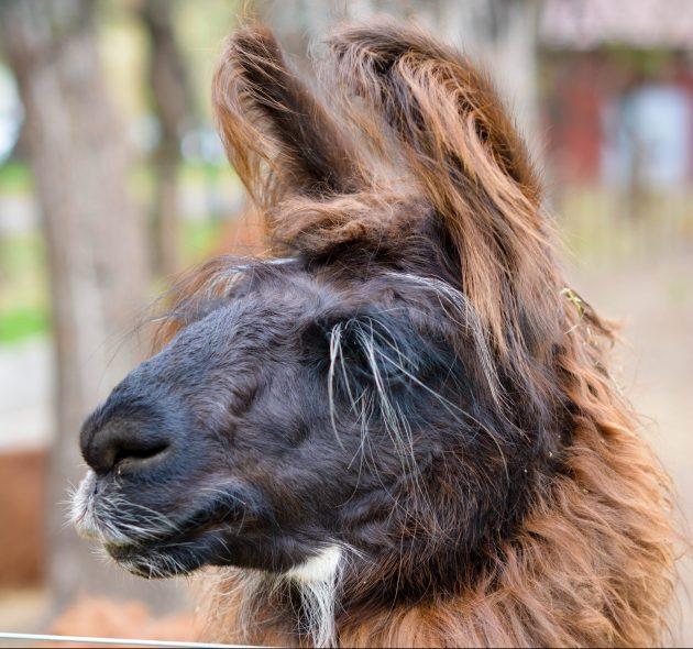 посетить Аргентину: ламы