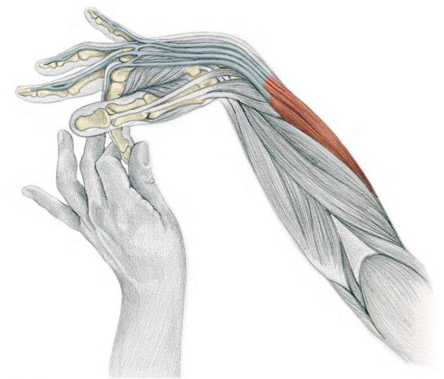 анатомия стрейчинга в картинках