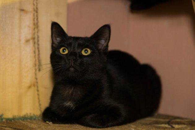 Кот Тайсон