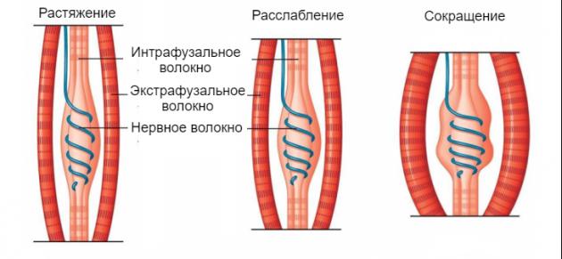 Нервно-мышечные веретёна