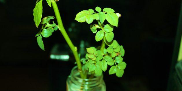 Как вырастить розу из букета: черенки в бутылке