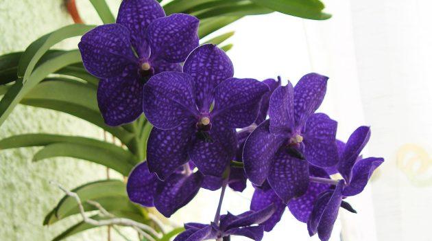 Как ухаживать за орхидеями Ванда