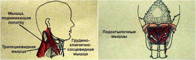 мышцы шеи