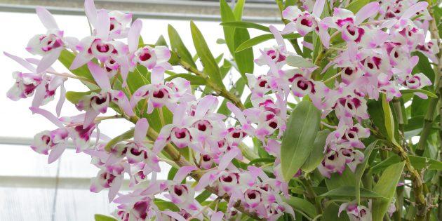 Как ухаживать за орхидеями Дендробиум
