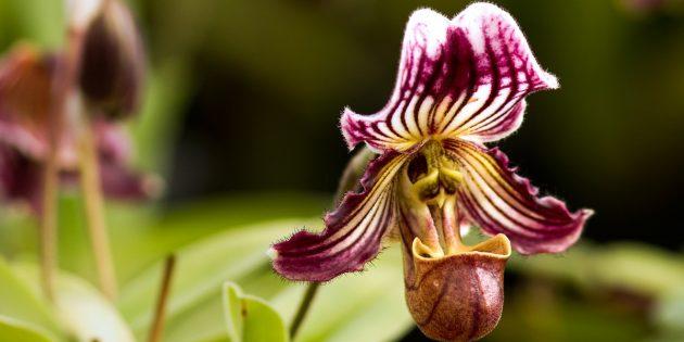 Как ухаживать за орхидеями Пафиопедилум