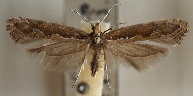 Охота на бабочек: как не дать моли сожрать любимые вещи и продукты