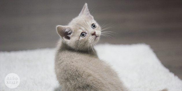 завести котёнка: основы