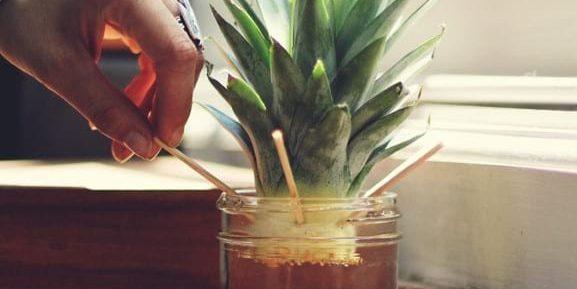 как вырастить ананас: поставьте в воду