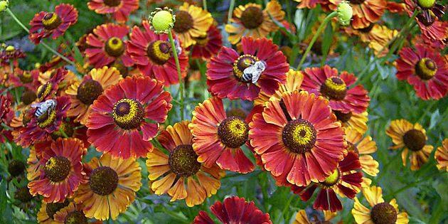Многолетники, цветущие всё лето: Гелениум