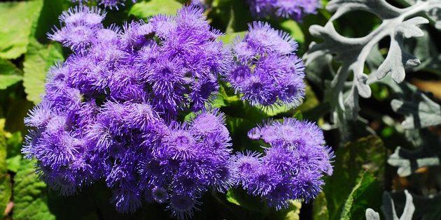 Однолетники, которые цветут всё лето: Агератум