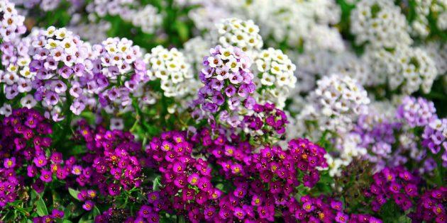 Однолетние цветы, которые цветут всё лето: Алиссум