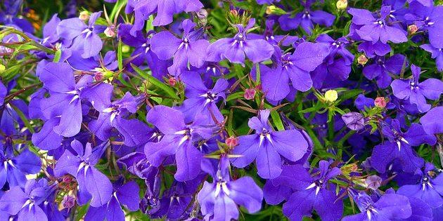 Однолетники, которые цветут всё лето: Лобелия