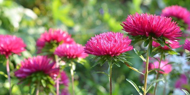 Однолетние цветы, которые цветут всё лето: Астра