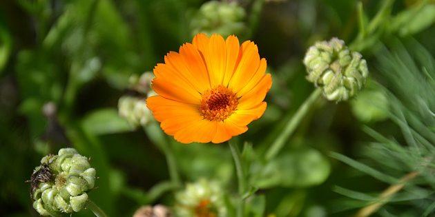 Однолетники, которые цветут всё лето: Календула лекарственная