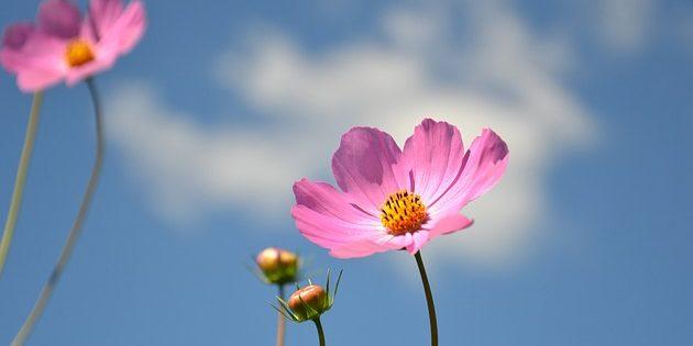Однолетники, которые цветут всё лето: Космея