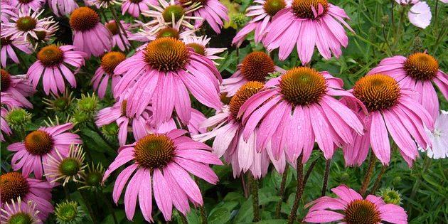 Многолетники, цветущие всё лето: Эхинацея