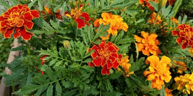 Однолетники, которые цветут всё лето: Бархатцы