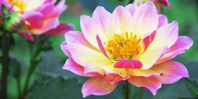 Однолетние цветы, которые цветут всё лето: Георгина