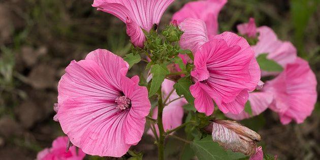 Однолетники, которые цветут всё лето: Лаватера