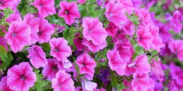 Однолетники, которые цветут всё лето: Петуния