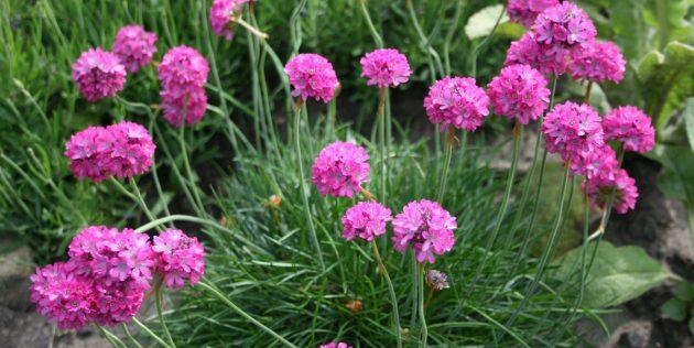 Многолетники, цветущие всё лето: Армерия