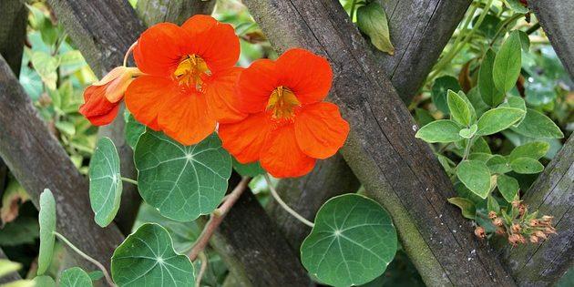 Однолетники, которые цветут всё лето: Настурция