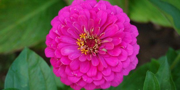 Однолетники, которые цветут всё лето: Цинния